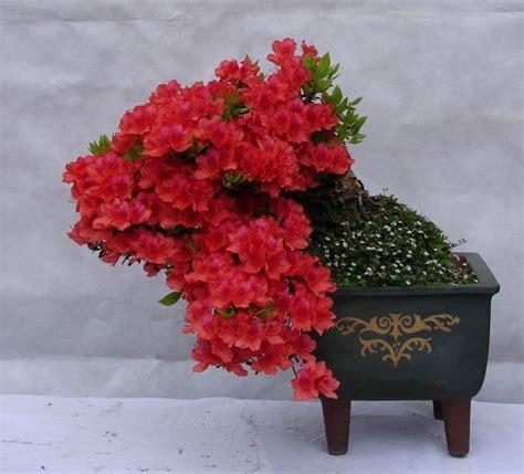 azalea in vaso azalee in vaso piante da giardino azalee coltivate in vaso