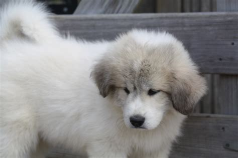 great pyrenees short hair short haired great pyrenees great pyrenees nickname dog