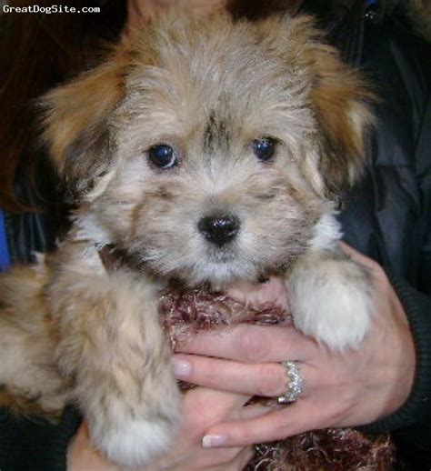 fawn havanese beagle breeder breeds picture
