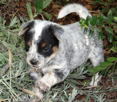 puppies for sale in ventura county best 20 cattle dogs for sale ideas on