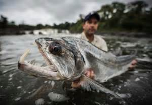 Goonch Catfish Pics   Images Guru