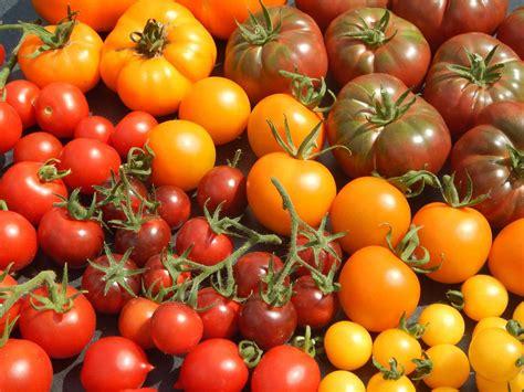 Alte Kartoffelsorten Kaufen 2298 by Tomatenpflanzen Kaufen Alte Sorten Pflanzen F 252 R Nassen Boden