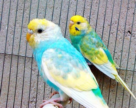 Buys A Parakeet by Budgie Mutations Cocorite E Pappagallini Ondulati