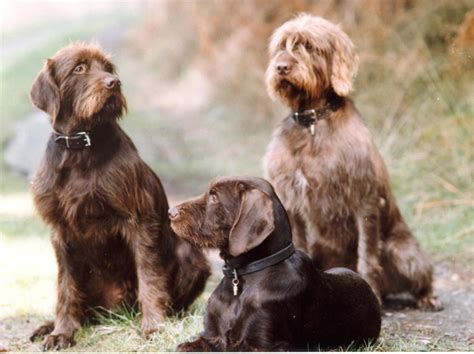 pudelpointer puppies pudelpointer german poodle pointer puppy dogs pudelpointer