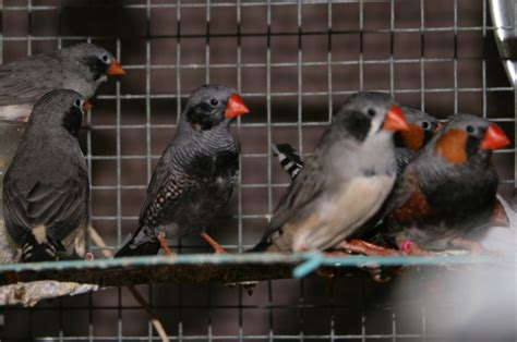 these black cheek and black chest zebra finches live in my