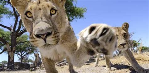 startup lions au cã ur de l tech edition books au coeur d une famille de lions 25 novembre 2013