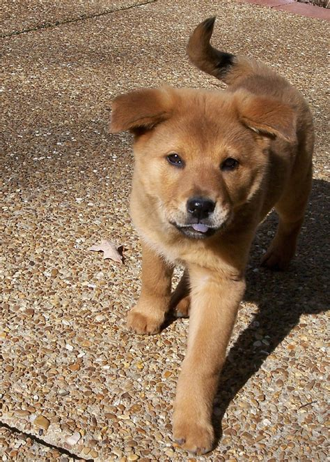 german shepherd chow mix puppy german shepherd chow mix puppies
