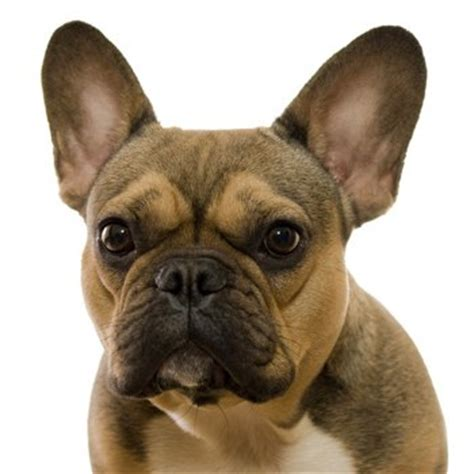 Do Bull Dogs Shed by Do Bull Dogs Shed Bulldog Breeders In