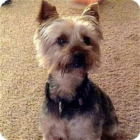 yorkie rescue indiana tipton in yorkie terrier mix meet indy ty a for adoption