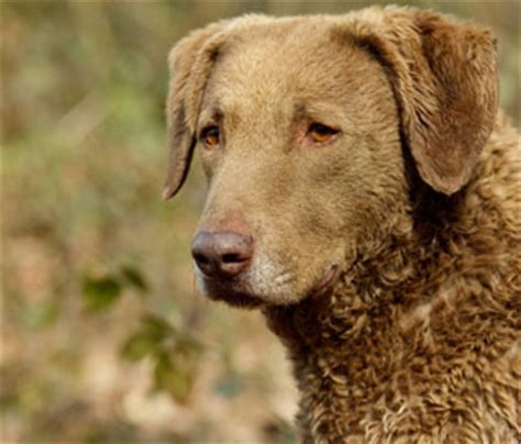chesapeake bay retriever puppies for sale nc dogs puppies for sale pupcity