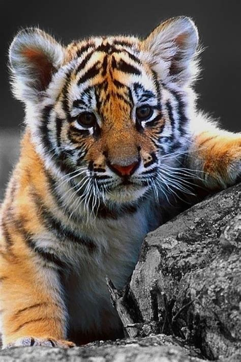 baby tiger with big tiger with images 800 best images about big cats and cubs on