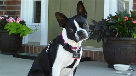 how much exercise for a puppy how much exercise does a boston terrier require every day