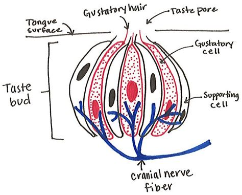 diagram of the tongue and taste buds the anatomy of flavor decoding delicious