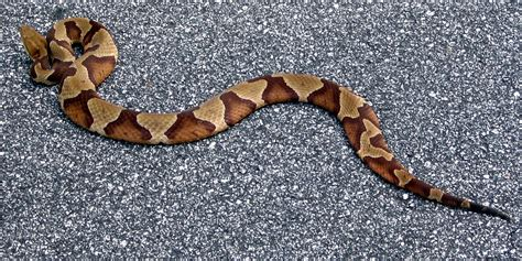 file americancopperhead jpg wikimedia commons