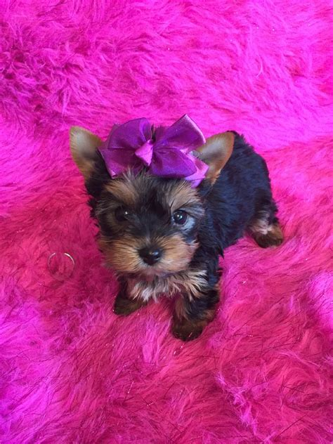 yorkie rescue tennessee adopt a yorkie tn dogs our friends photo