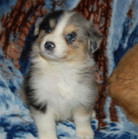 australian shepherd puppies nc 17 best images about next out door on australian shepherd poodles and
