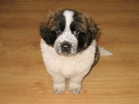 st bernard puppy file st bernard puppy 001 jpg