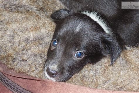 mcnab puppies for sale mcnab puppy for sale near chico california 19581350 59e1