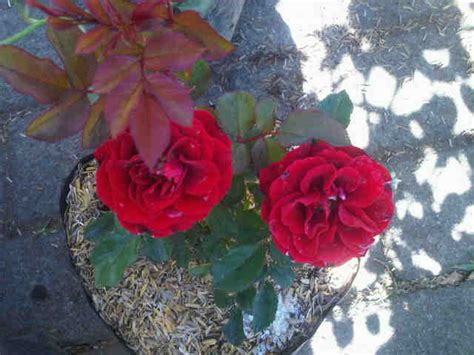 Jual Bibit Bunga Mawar Di Makassar jual tanaman mawar floribunda merah bibit