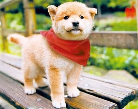 where to buy a shiba inu puppy buying japanese shiba inu puppies for sale