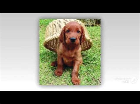irish setter dog youtube irish setter dog breed youtube