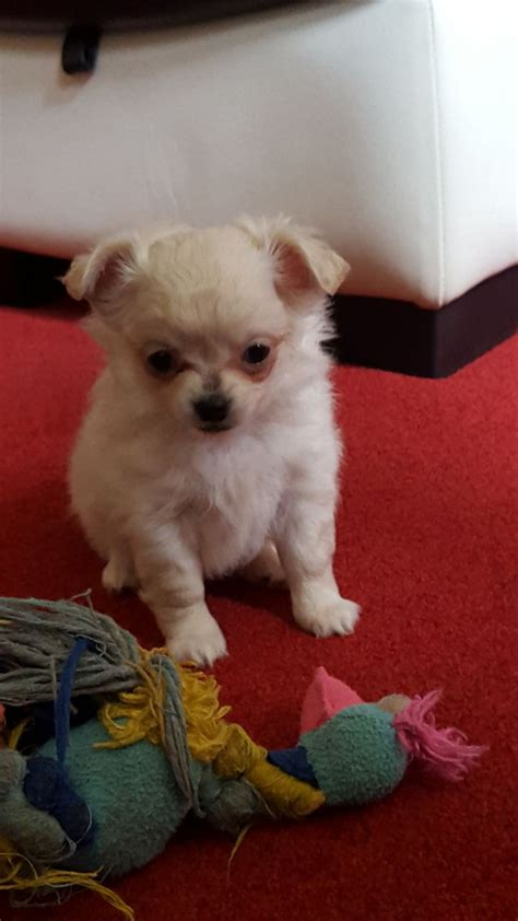 white chihuahua puppies for sale gorgeous white chihuahua puppies for sale bracknell berkshire pets4homes