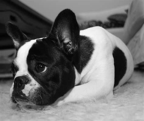 Bulldog Also Search For Resultados De La B 250 Squeda De Im 225 Genes De De Http Www Letocar Wp Content