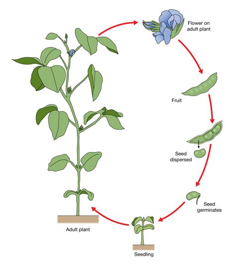 bean plant diagram biology 20 dave illustration