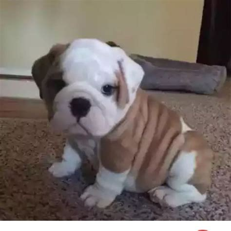 adorable small puppies 25 best ideas about puppies on