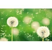 Dandelion Flower Wallpapers