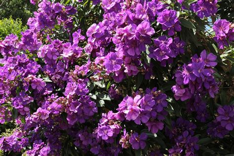 flowering shrubs that bloom all summer flowering shrub flickr photo