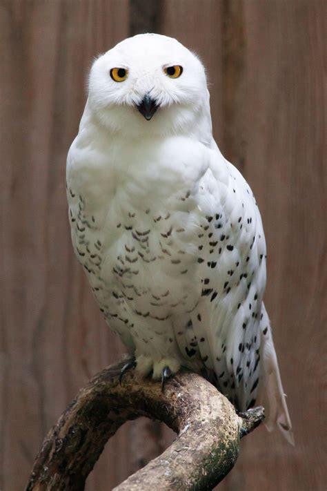 file snowy owl portrait jpg