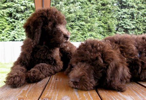 labradoodle puppy coat change about labradoodles aussiedoodle and labradoodle puppies best labradoodle breeders