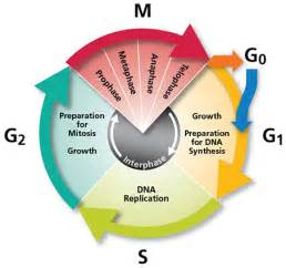 Apoptosis cell cycle and cell proliferation analysis cell cycle