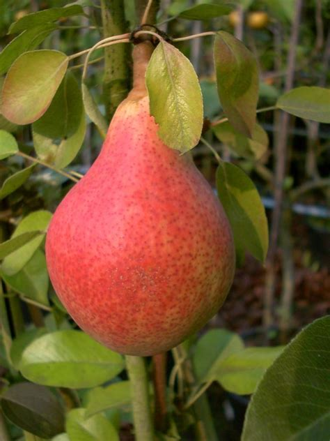 Pflanzen Shop 894 by S 228 Ulenbirne Quot Clapps Liebling Quot Cac Kaufen Im