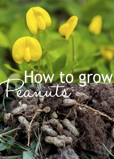 how to grow peanuts an easy guide for gardening beginners how to grow your own peanut plant plants gardens and