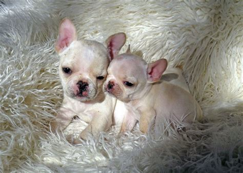 bulldog puppies for sale los angeles bulldog puppies for sale los angeles 7resizejpg models picture