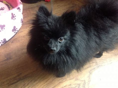 black pomeranian kcreg small black pomeranian boy show quality birmingham west midlands