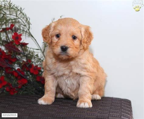 mini doodle breeders in pa mini goldendoodle puppy for sale in pennsylvania any