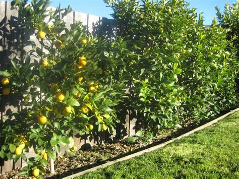 backyard lemon tree lemon fence three years ago i planted a lemon