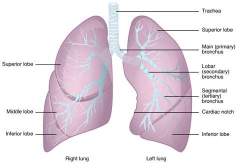 the human lungs diagram the lungs labeled diagram anatomy organ