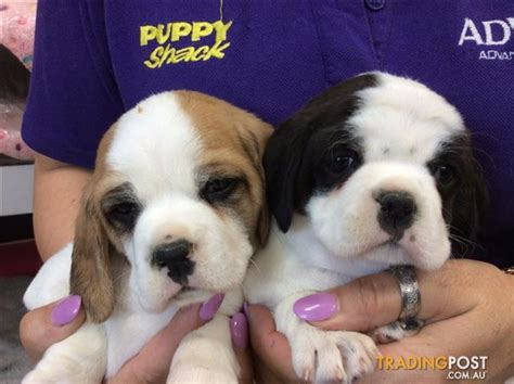 pugs brisbane pug x cavalier king charles spaniel wormed vet checked in breeds picture