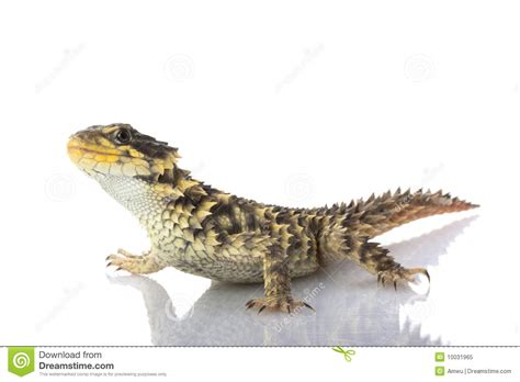 giant girdled lizard stock image image  herpetology