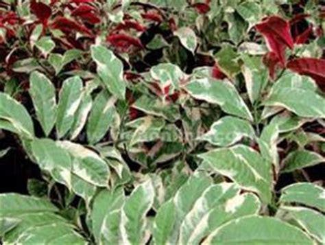 sambang darah tanaman obat   beracun katalog