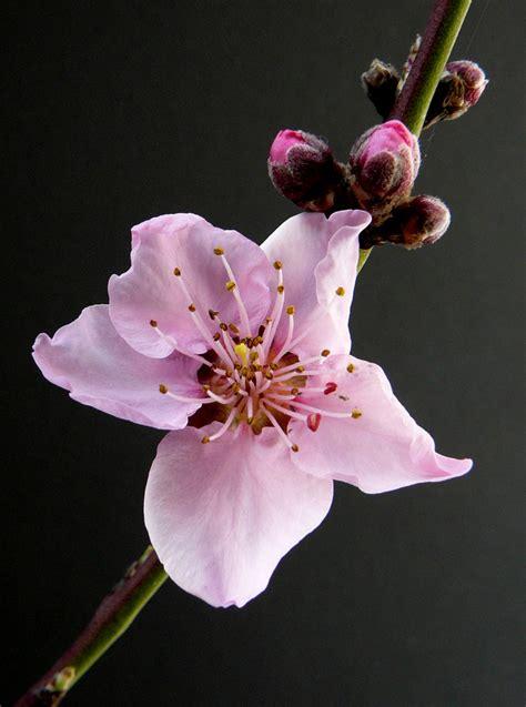 sfondi fiori di pesco 008 fiore di pesco noce nettarina foto immagini