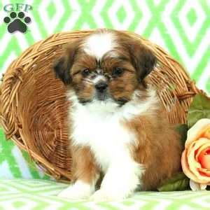 shih tzu puppies lancaster pa shih tzu puppies for sale in de md ny nj philly dc and baltimore