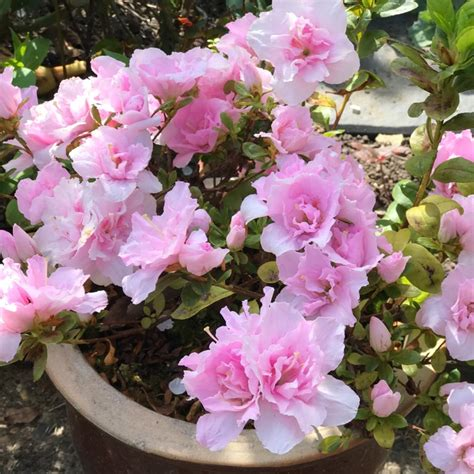 types of rhododendron 28 images rhododendron kenssimpleview flora wonder blog