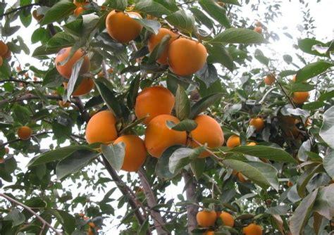 japanese fruit tree japanese persimmon seeds diospyros kaki seeds zhong wei