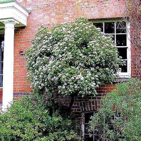 viburnum tinus laurier tin plante 30 40cm en godet