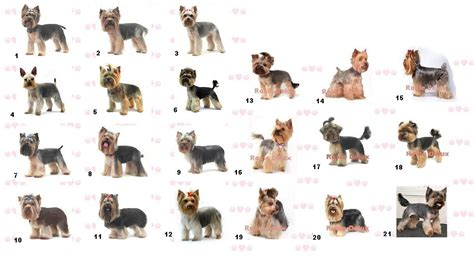 types of yorkies haircuts for different types trend home design and decor